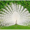 Pavo Real Blanco Macho