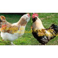 Gallo Faverolles