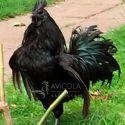 Gallo Ayam Cemani