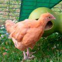 Pollito/a de hasta 5 semanas Orpington SIN SEXAR