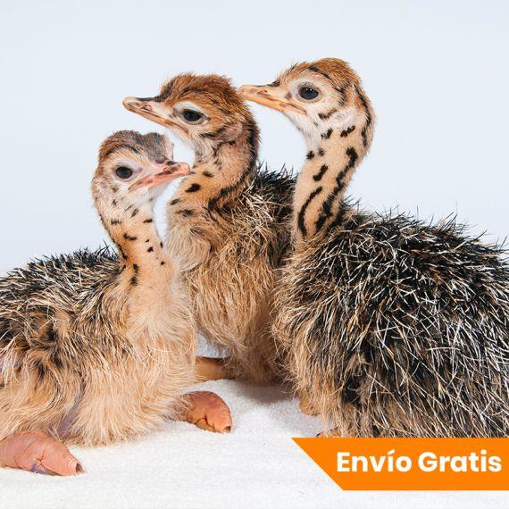 Oferta Crias Avestruz (2 hembras + macho) Portes Gratis