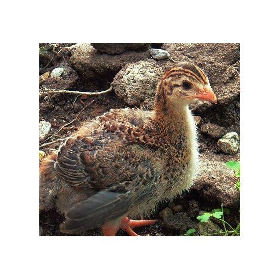 Guinea Cria