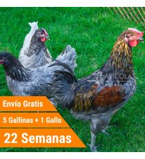 Oferta 5 Biblue + Gallo + Portes Incluidos