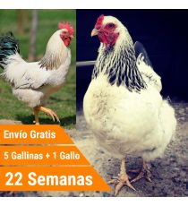 Oferta 5 Sussex + Gallo + Portes Incluidos