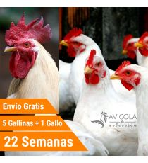 Oferta 5 Leghor + Gallo + Portes Incluidos