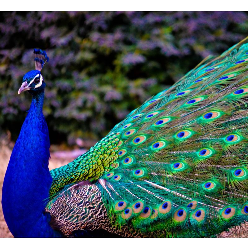 Pavo real macho - Fotos de un pavo real ...