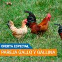 Pareja Gallinas y Gallos Americanos