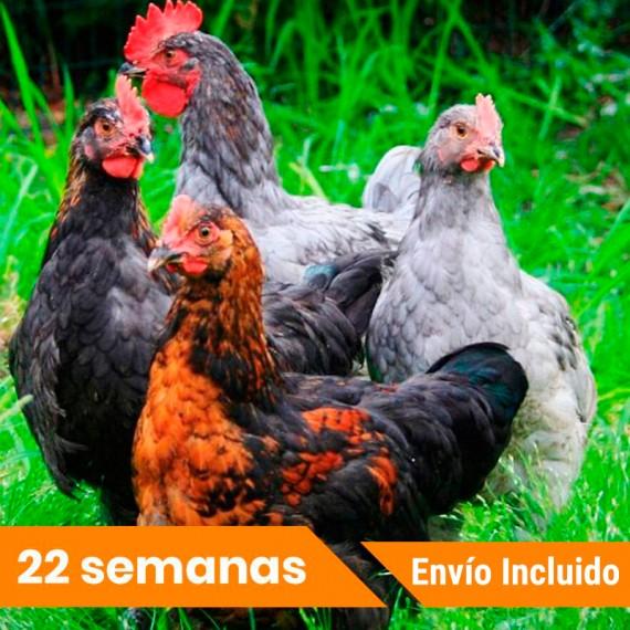Oferta gallinas ponedoras Portes GRATIS
