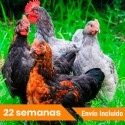Oferta 12 gallinas Superponedoras Portes incluidos