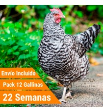 Oferta 12 Barred rock Portes Incluidos