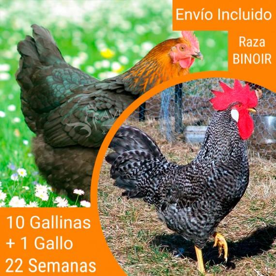 Oferta 11 Binoir ® y un gallo. Portes Gratis