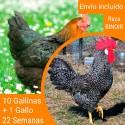 Oferta 10 Binoir ® + Gallo Portes incluidos