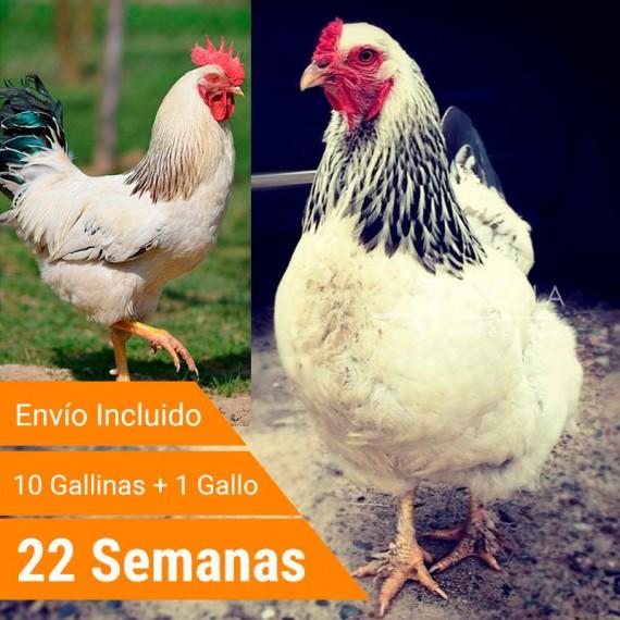 Oferta 11 Sussex + Gallo + Portes Incluidos