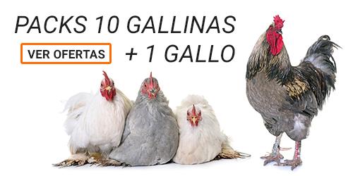 Packs 10 Gallinas + 1 Gallo