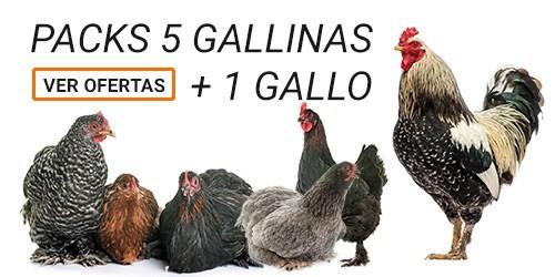 Packs 5 Gallinas + 1 Gallo