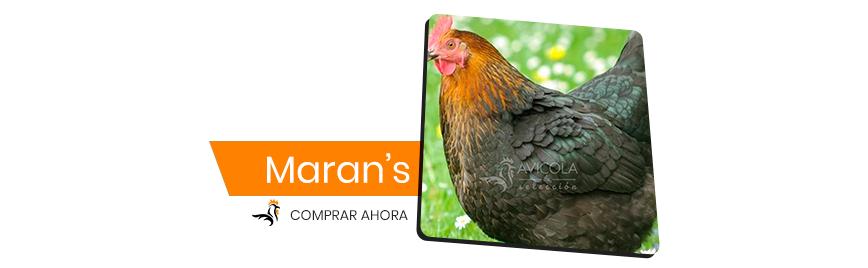 Maran's