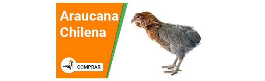 Araucana Chilena