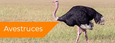 venta de avestruces