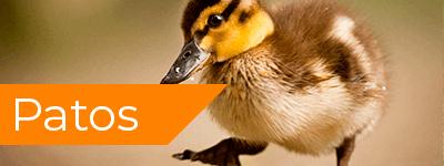 comprar patos