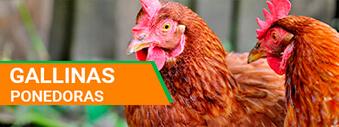 venta de gallinas ponedoras