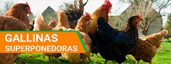 comprar gallinas camperas